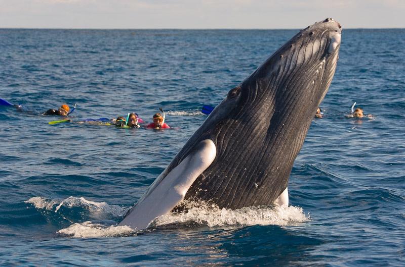 Arranca el 15 de enero temporada observación ballenas Jorobadas
