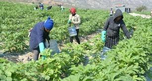 Campesinos de Jaragua y asentamiento AC-587 Baitoa recolectan molondrones para exportar