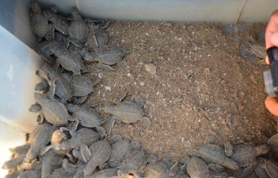 """Armada de RDLiberan 105 tortugas marinas de la especie """"Chelonia mydas"""" en playa Sans Souci"""