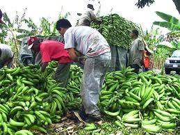 Ministro de Agricultura no entiende por qué el plátano está tan caro