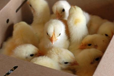 Ganadería acompaña entrega de pollos bebé en Los Guayuyos